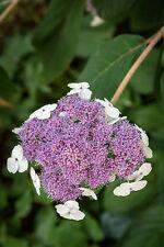 Hydrangea serrata 'Bluebird' In 2L Pot Lace-Cap Hydrangea with Stunnigng Colours