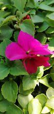 10 BUSY LIZZIE MIX BEDDING HANGING BASKET FLOWERS BORDER IMPATIENS PLUG PLANTS