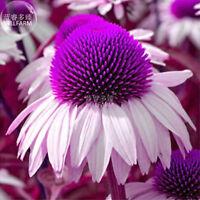 Echinacea White Petals Purple Perennial Flower 100 Fresh Seeds Garden Big Bloom