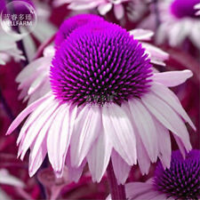 Echinacea White Petals Purple Perennial Flower 100 Fresh Seeds Garden Big Bloom