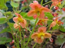 Epimedium pubigerum Orange Queen perennial plant ideal ground cover 9cm pot