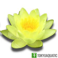 Nymphaea Chromatella Yellow Hardy Water Lily Tuber Live Aquatic Pond Plant Koi