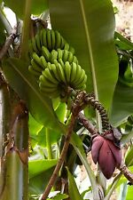 MUSA ACUMINATA - Cavendish Edible Banana Plant - 10 Seeds - Grow Your Own