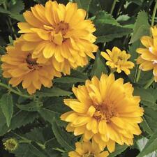 Heliopsis - Summer Sun - 150 Seeds