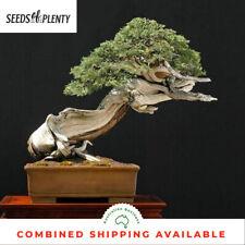 Rocky Mountain Juniper - Juniperus scopularum (25 Bonsai Seeds)