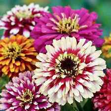 50+  ZINNIA WHIRLYGIG  MIX  / BI-COLOR  / HIGH PERFORMER  / FLOWER SEEDS
