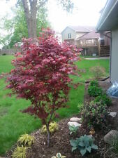 Japanese Bloodgood Maple Seedling in trade one gallon pot (.667 gallon of dirt)