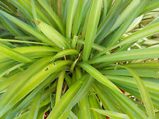 Spider plants solid green 4 starter/pup plants for sale