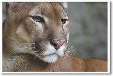 Puma Closeup - NEW Animal Wildlife POSTER