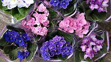 8  Usambaraveilchen gemischt  Zimmerpflanze / Blühpflanze