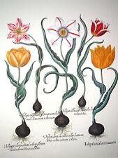 """Besler, Fine Art Botanical Print Antique Tulips Flowers Floral, Framed 36""""x32"""""""