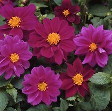 Dahlia Delight Violet Shades Seeds Dwarf Perennial Good Cut Flower Easy to Grow