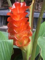 3 Rhizomes CURCUMA ROSCOEANA, Orange Flower Plant + Phytosanitary Certificate #