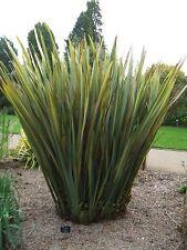 Nueva Zelanda Lino-Phormium Tenax - 25 tropical fresca Semillas