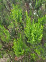 BREZO BLANCO erica arborea 10 gramos (gr )  semillas seeds