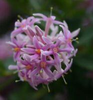 der sagenhafte POMPOM-BAUM hat Blüten, die sind einfach bombastisch !