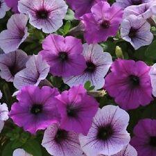 Petunia Seeds 25 Pelleted Seeds Easy Wave Plum Pudding