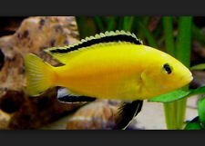 30 African Cichlids *READ DESCRIPTION* NY, NJ, eastern PA, VT, CT, MA, see map