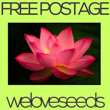 LOCAL AUSSIE STOCK - Pink Indian Lotus, Holy Water Lily Seeds ~5x FREE SHIPPING