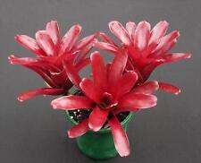 Bromeliad Neoregelia FIREBALL red stoliniferous