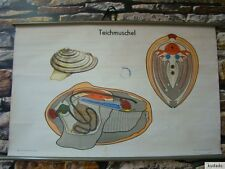 Nr.F9410  Lehrtafel - Teichmuschel - Schultafel - Lehrmittel