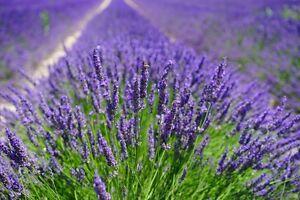 300 Samen Echter Lavendel (Lavandula angustifolia, officinalis), Duftlavendel