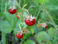 Alpine or Woodland Strawberry Seed Edible Sweet Hardy Zone USDA 4