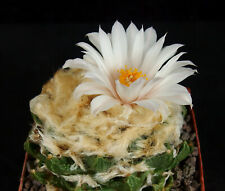 30 Korn ALBIFLORA Ariocarpus intermedius, Kakteen, Kaktus, Astrophytum