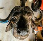 Cape Buffalo Taxidermy Mount * Original * 1940's * RARE * EXQUISITE