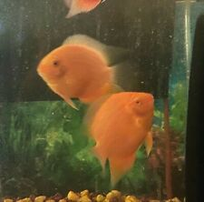 """5"""" LARGE Super Red Spotted Gold Severum Cichlid, Gorgeous Show Quality IMPORT"""