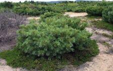 Dwarf Siberian Pine, Japanese Stone Pine (Pinus pumila) 100 seeds