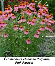 ECHINACEA PINK PARASOL Orange Large TALL + BIGgest ALL CONEFLOWER 25+ seeds GIFT