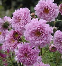 Kings Seeds - Cosmos Double Click Rose Bon Bon - 75 Seeds