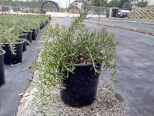 Rosmarino Prostrato Pendulo vaso17 (Set di 5 piante)
