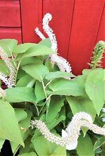 SAURURUS Chinese lizards tail. Summer flowering scented marginal/pond plant