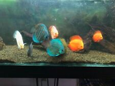 "Discus assorted 4-7"" live tropical fish"
