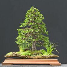 Jezo Spruce, Picea jezoensis, Tree Seeds (Bonsai, Fast, Evergreen)