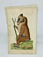 Variegated Baboon - 1783 RARE SHAW & NODDER Hand Colored Copper Engraving