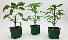 3er Set gemischte Paprikapflanzen lila orange grün/rot  PT 9 cm / 1636299999