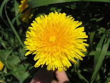 80 graines de PISSENLIT(Taraxacum Officinalis)G196 DANDELION SEEDS SAMEN SEMILLA