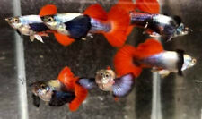 Live Fish Guppy 5 Pair Red Tail Big Ears Male & Female Aquarium Pet Guppies