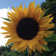 10 Giant Sunflower Seeds - Mammoth Grey Stripe