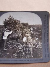 Stereoscopic Card Gathering Mulberry Leaves  For Silk Worms  Japan