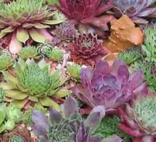 Sempervivum Mixture - 200 Seeds - Houseleek Liveforever