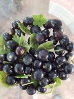 Jaltomate - Jaltomata procumbens - Xaltomatl 10+ Samen - Saatgut - Seeds Graines
