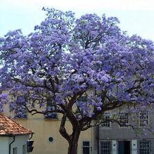 Lot/100Pc Fastest Growing Purple Flower Paulownia Tree Kiri Tomentosa Seeds Yard