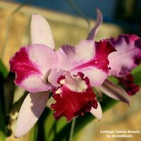 Cattleya Taiwan Beauty 3 1/4'' Pot T457