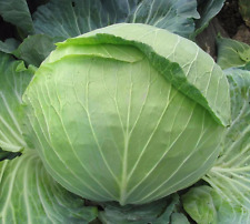 BIG PACK SIZE Cabbage seeds Stone Head from Ukraine vegetable Seeds 5 grams