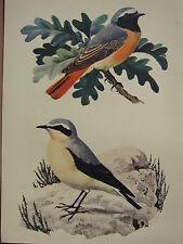 BEAUTIFUL VINTAGE BIRD PRINT ~ REDSTART WHEATEAR
