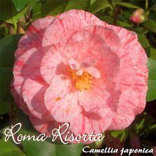 "Kamelie ""Roma Risorta"" - Camellia japonica - 3-jährige Pflanze"